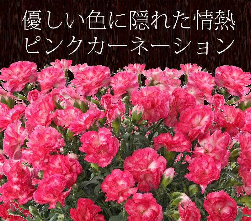 情熱のピンクカーネーション