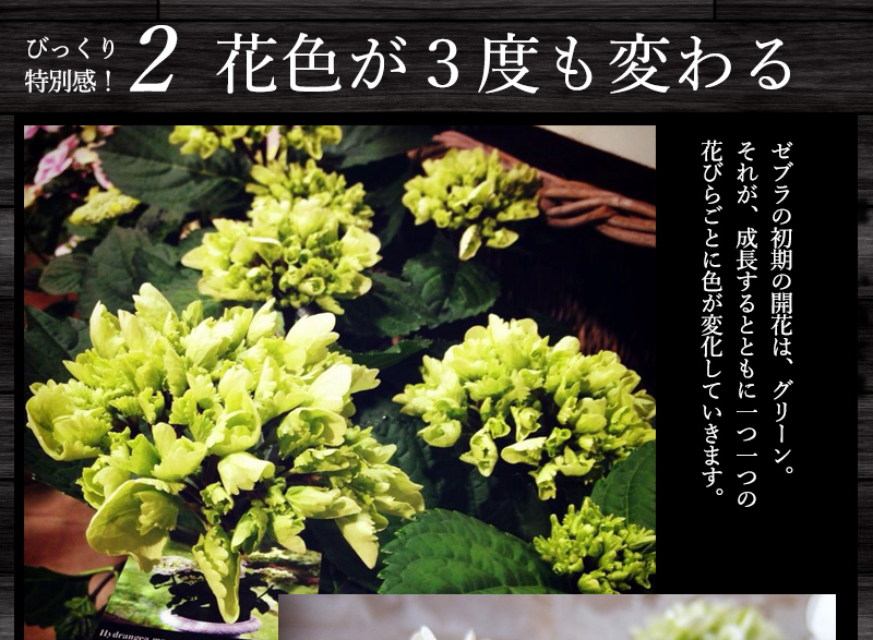花色が3度も変わる